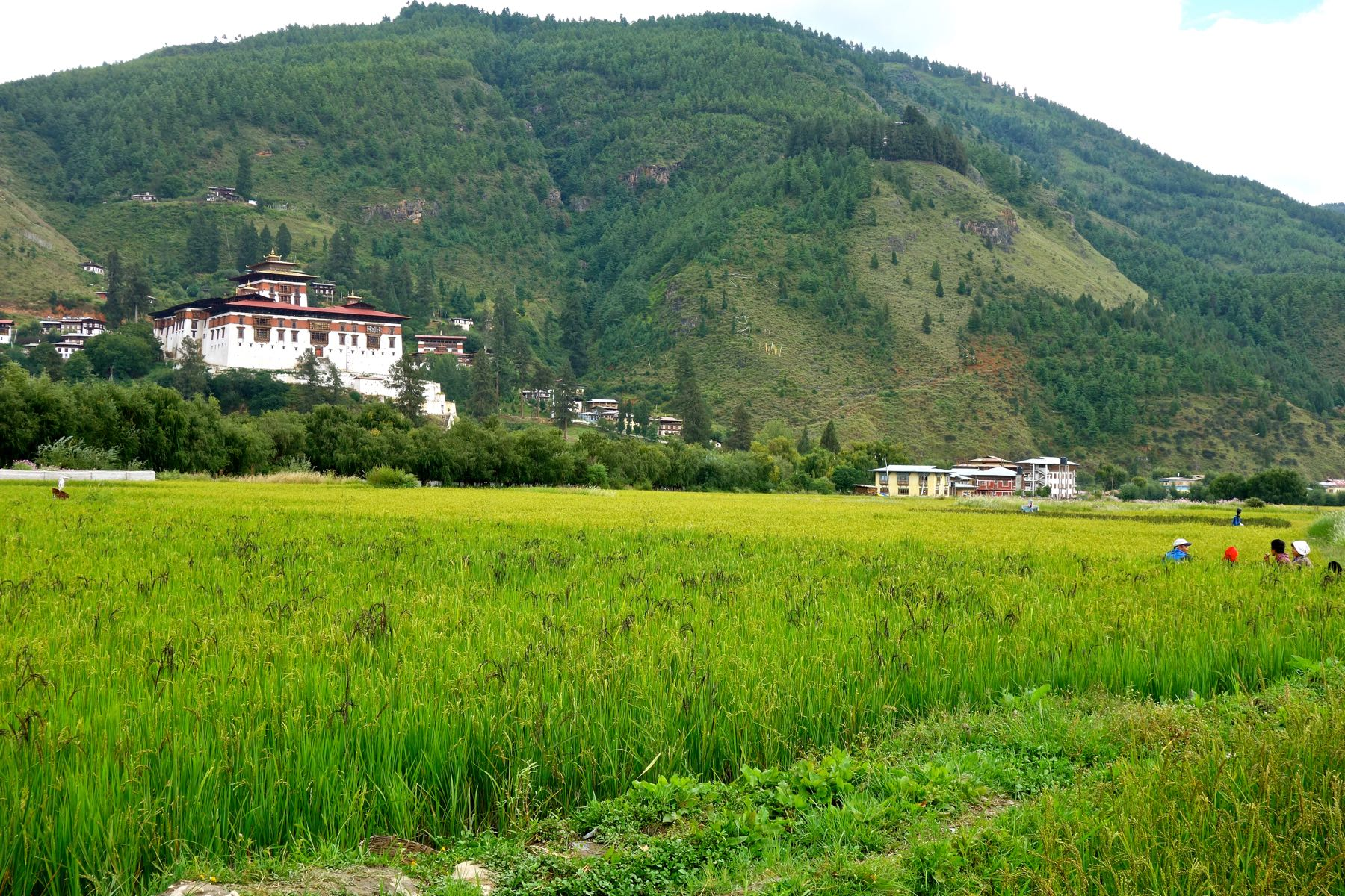 Beautiful Paddy fields in Paro, Bhutan